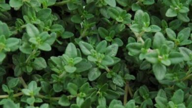 Photo of Five benefits of eating Thyme Leaves