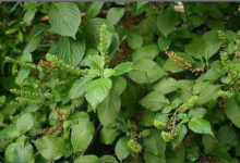 Photo of Health benefits of scent leaves to your over-all welbeing
