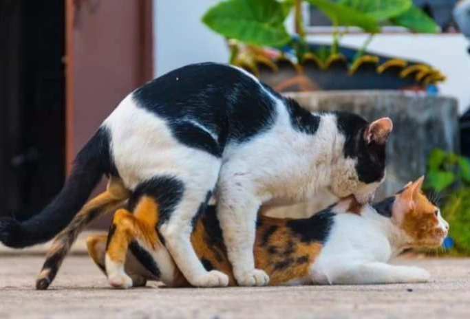 Photo of Why Cat screams during mating and subsequently attacks the male
